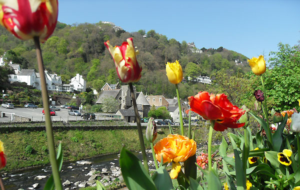 Tulips, with Lynmouth beyond