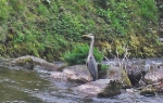 Heron in the East Lyn outside The Captain's House
